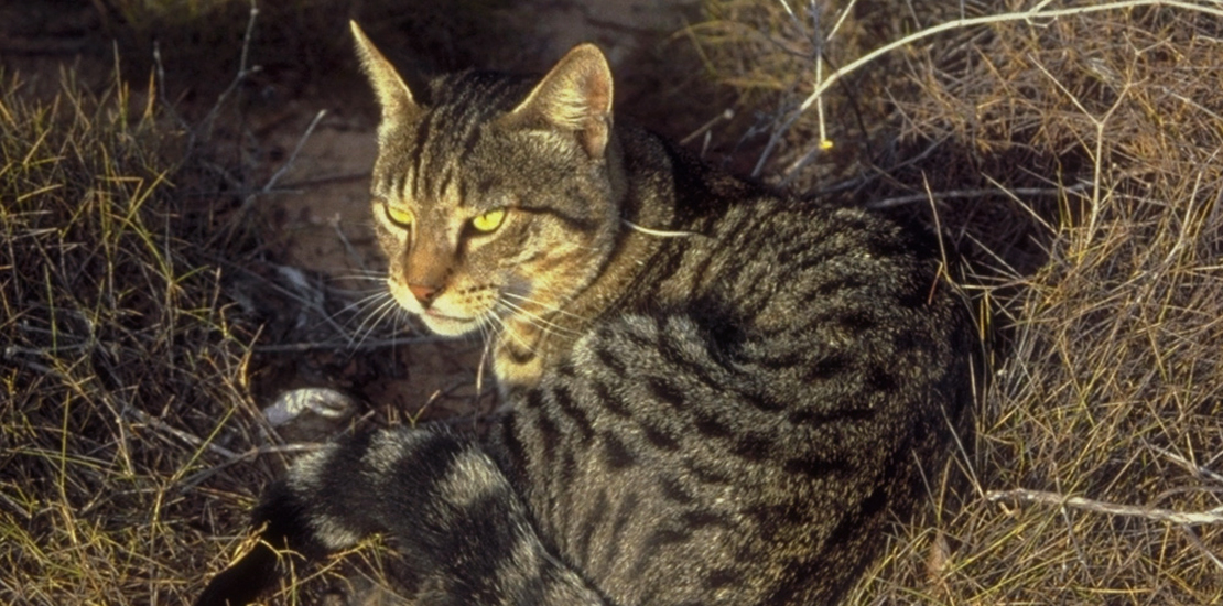 Rockingham Feral Cat Animal Survey