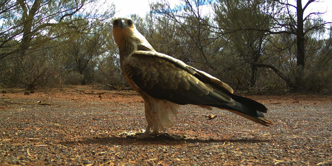 Butcherbird Manganese Project Flora and Fauna Survey WA